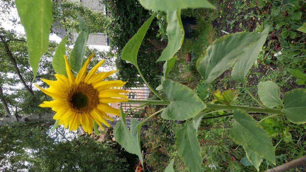 Photo of large sunflower in York