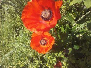 Red flowers growing wild in York