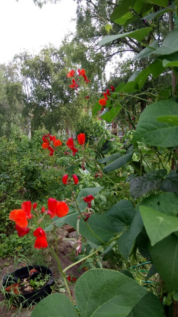 Bean plant on allotment with red flowers, York