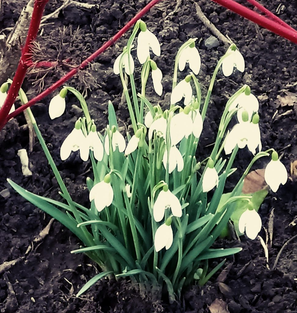 Photo of Snowdrop flower in York city centre