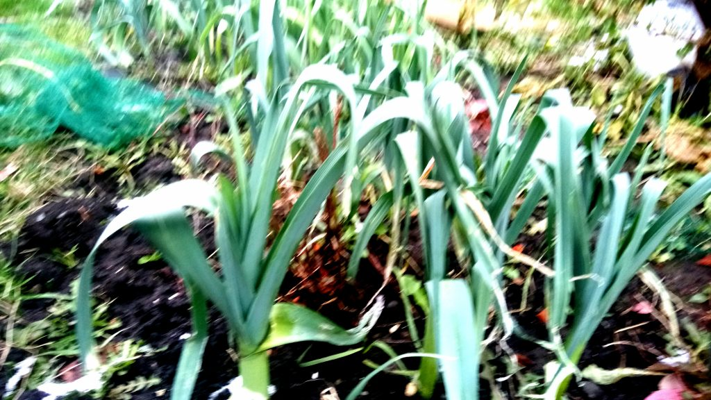 Photo of leeks growing on allotment, York