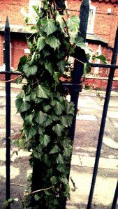 Photo of green creeper on allotment, York