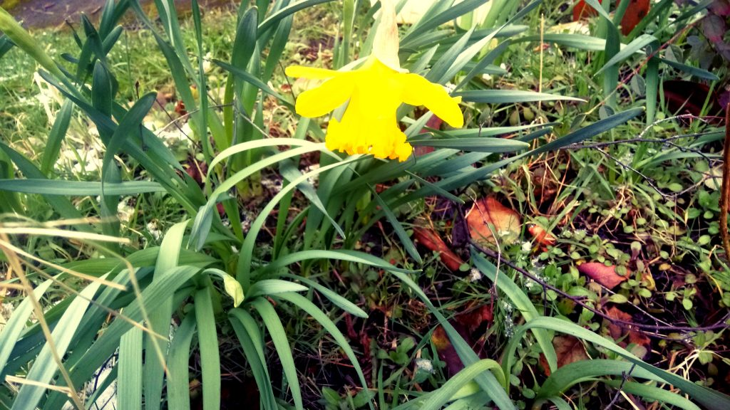 Daffodil on allotment, York