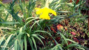 Daffodil on allotment, York