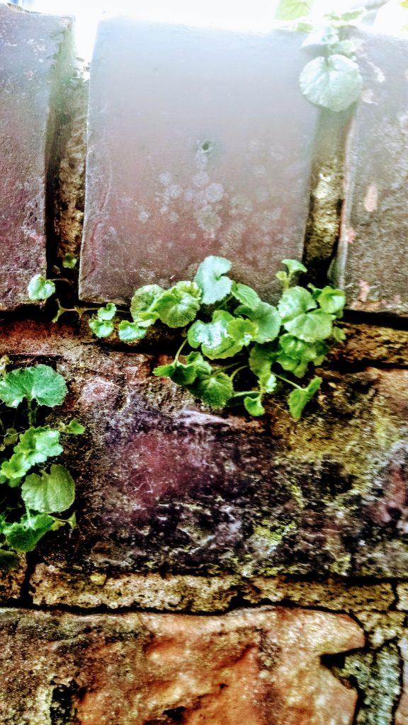 Plants and sunshine on garden wall