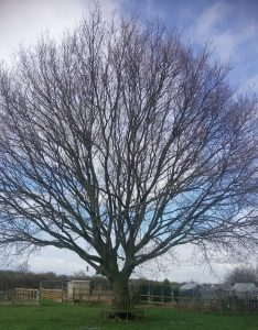 Photo of tree with no leaves on Bootham Stray, York
