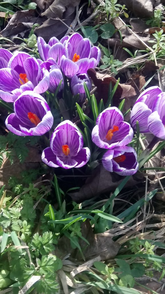 Photo of purple crocuses on cycle track in York
