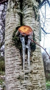 Photo of birch tree with icicle, York