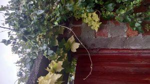 Photo of ivy around gate, York